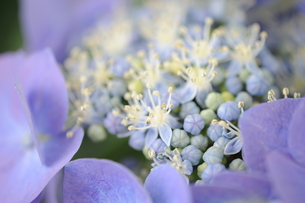 紫陽花の素材 [FYI00110781]