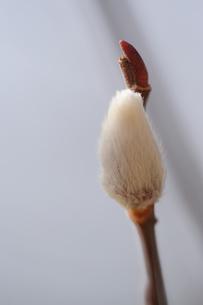ネコヤナギの素材 [FYI00110793]