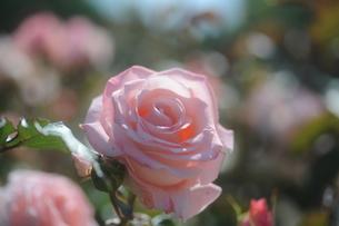ピンクのバラの素材 [FYI00110844]