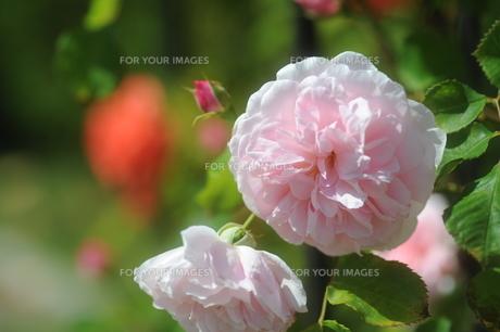 ピンクのバラの素材 [FYI00110845]