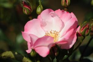 ピンクのバラの素材 [FYI00110846]