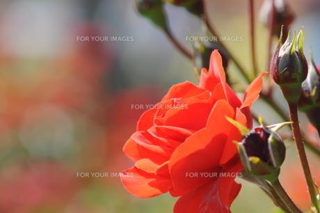 赤いバラの素材 [FYI00110847]