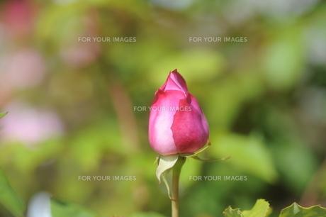 ピンクのバラの蕾の素材 [FYI00110855]