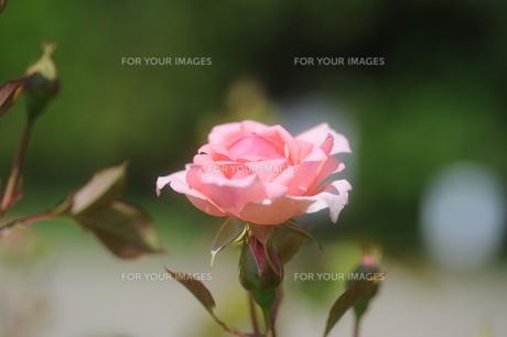ピンクのバラの素材 [FYI00110856]