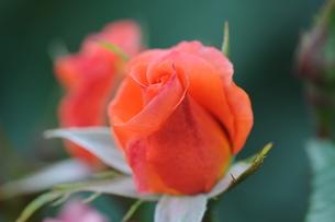 赤いバラの素材 [FYI00110857]