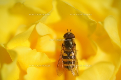 黄色いバラとアブの素材 [FYI00110858]