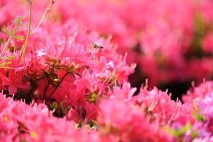 サツキとミツバチの写真素材 [FYI00110860]