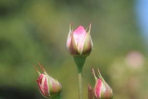 ピンクのバラの蕾の素材 [FYI00110863]