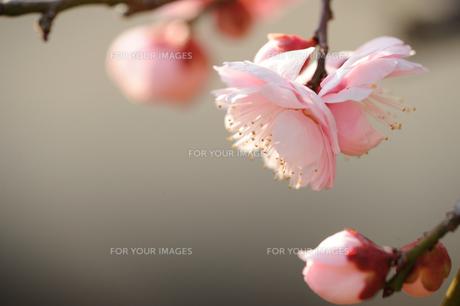 紅梅の蕾と花の素材 [FYI00110869]