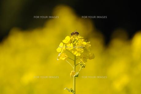 菜の花とミツバチの素材 [FYI00110874]