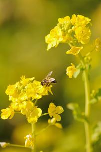菜の花とミツバチの素材 [FYI00110880]