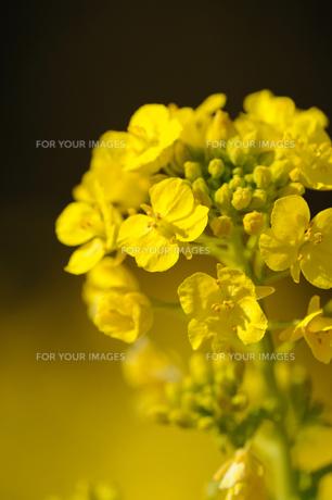 菜の花の素材 [FYI00110881]