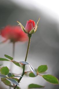 赤い棘のバラの素材 [FYI00110882]