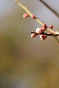 梅の蕾の素材 [FYI00110883]