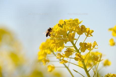 菜の花とミツバチの素材 [FYI00110885]