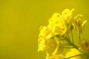 菜の花の素材 [FYI00110887]