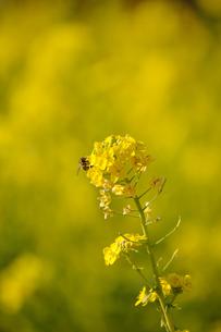 菜の花とミツバチの素材 [FYI00110888]