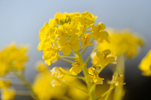 菜の花の素材 [FYI00110889]