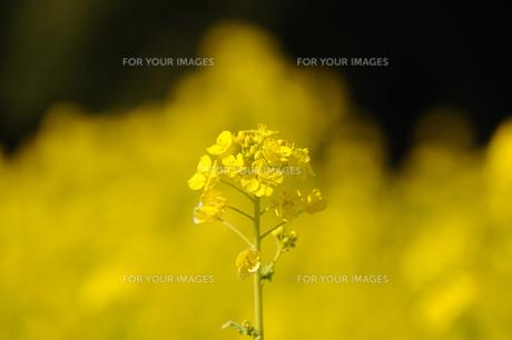 菜の花の素材 [FYI00110891]