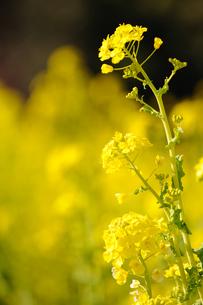 菜の花の素材 [FYI00110892]
