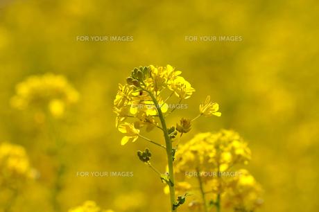 菜の花の素材 [FYI00110893]
