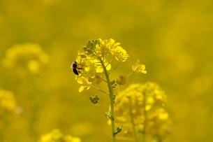 菜の花とミツバチの素材 [FYI00110894]