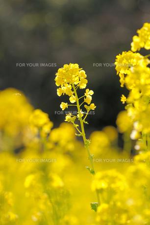 菜の花の素材 [FYI00110895]