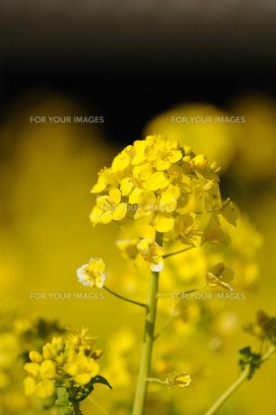 菜の花の素材 [FYI00110896]