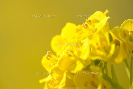 菜の花の素材 [FYI00110897]