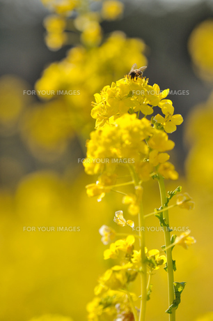 菜の花とミツバチの素材 [FYI00110898]