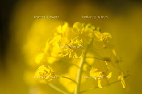 菜の花の素材 [FYI00110901]