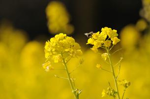 菜の花とミツバチの素材 [FYI00110904]