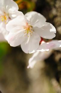 サクラの花びらの写真素材 [FYI00110905]