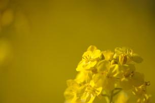 菜の花の素材 [FYI00110907]