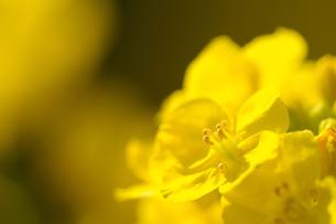 菜の花の素材 [FYI00110911]