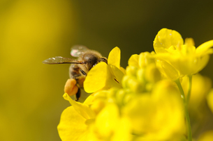 菜の花とミツバチの写真素材 [FYI00110914]