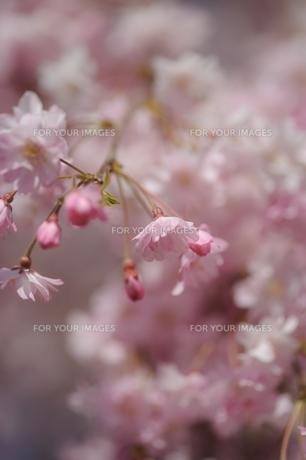 枝垂桜の素材 [FYI00110917]
