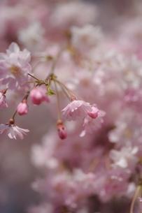 枝垂桜の写真素材 [FYI00110917]