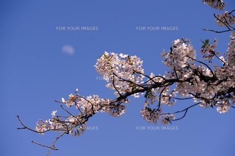 月と桜の素材 [FYI00110930]