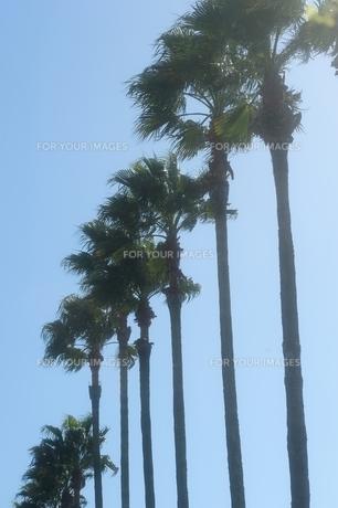 椰子の木の素材 [FYI00110934]
