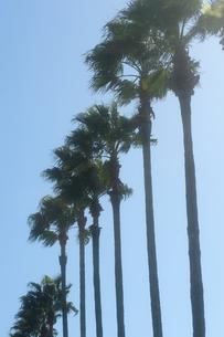 椰子の木の写真素材 [FYI00110934]