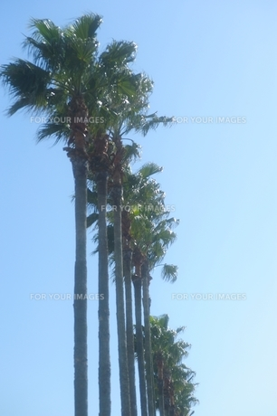 椰子の木の素材 [FYI00110935]