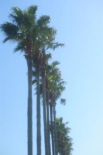 椰子の木の写真素材 [FYI00110935]