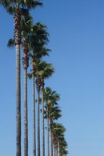 椰子の木の素材 [FYI00110942]