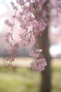 枝垂桜の写真素材 [FYI00110944]