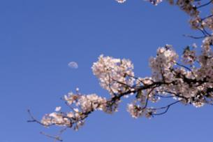月と桜の素材 [FYI00110945]