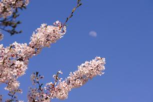 月と桜の素材 [FYI00110950]