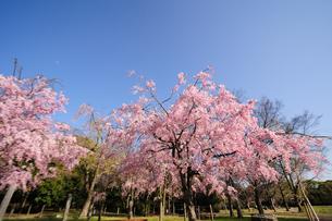 枝垂桜の素材 [FYI00110952]