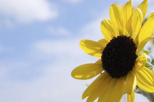 向日葵と空の写真素材 [FYI00110998]