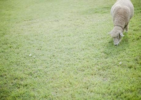 草原の羊の写真素材 [FYI00111013]